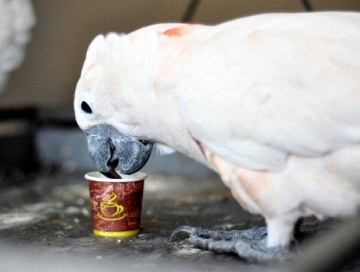 Kafein tiryakisi papağanlar
