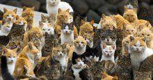 İşte kedi adasının gerçek sakinleri