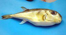 'Balon balığı' için acil önlem çağrısı
