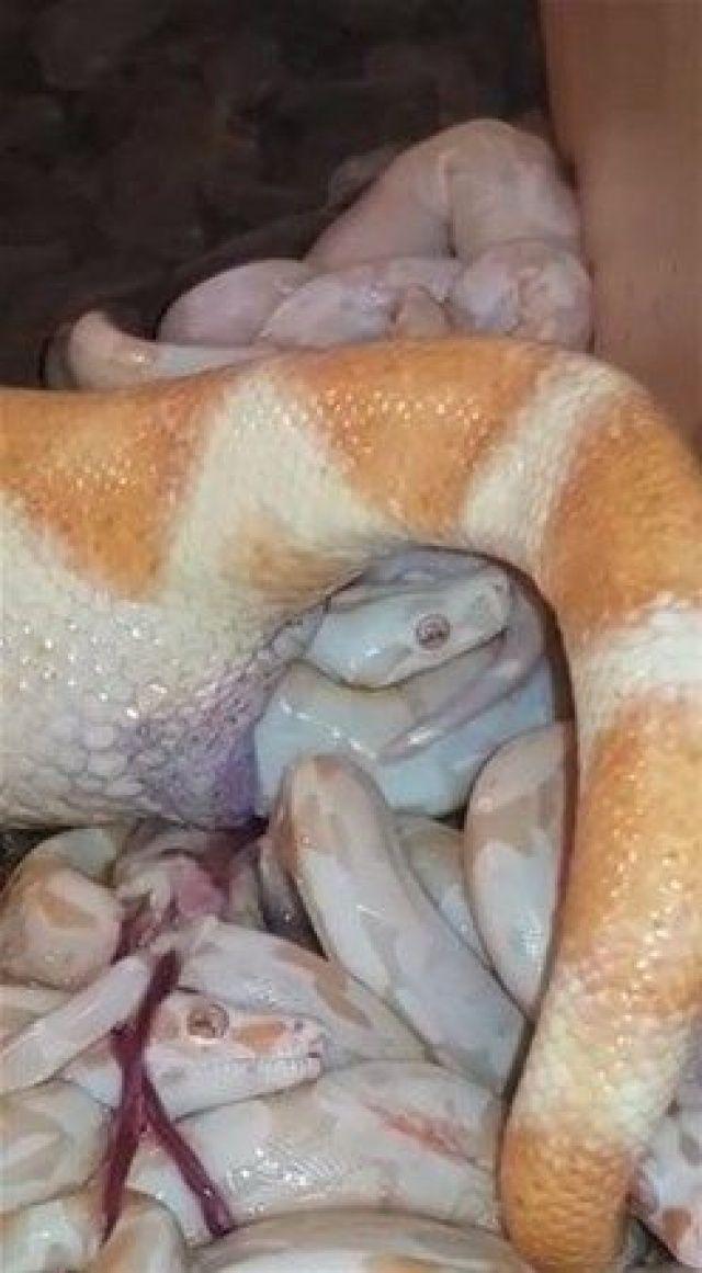Yılanın doğum anı şaşkına çevirdi