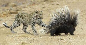 Aç leopar hayatının hatasını yaptı
