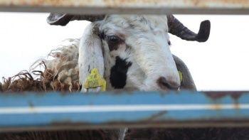 Kurbanlık hayvan satın alırken dikkat edilmesi gerekenler