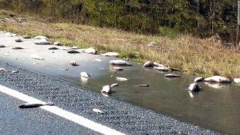 Şoke eden görüntü! Otoyol yüzlerce ölü balıklarla doldu