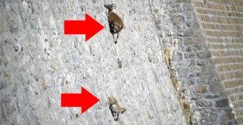 Barajın dik duvarına tırmanan keçilerin, öyle bir amacı var ki duyan şaşıp kalıyor!
