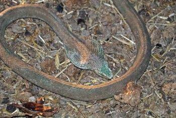 Yangında kobra yılanı bulundu, korku ikiye katlandı
