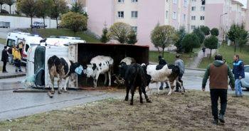 Edirne'de kamyonet midibüsle çarpıştı, kasadaki inekler yola savruldu!