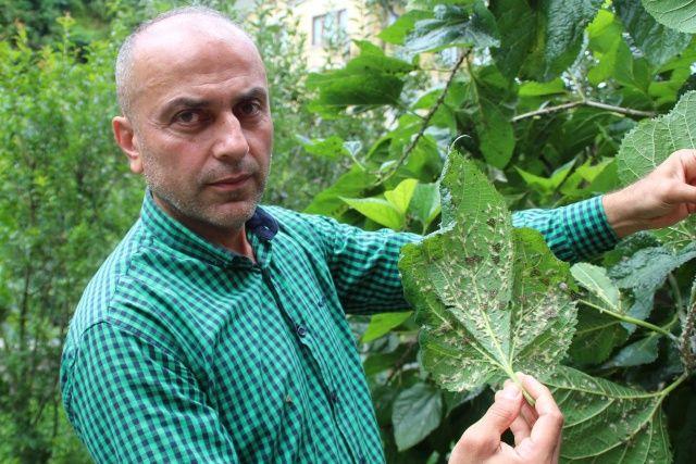 Doğu Karadeniz'de 'vampir' böcek alarmı