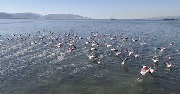 Flamingolar İzmit Körfezi'ne akın etti