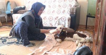 Besici kadından prematüre buzağıya anne şefkati