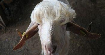 Bu keçileri görenler bir daha bakıyor!