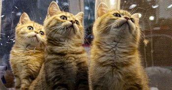 Rusya'da 2 bin kedinin katıldığı fuar