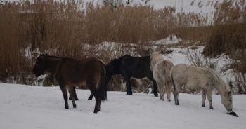Bu beldede sahipsiz atları besleyenlere 4 bin lira maaş verilecek