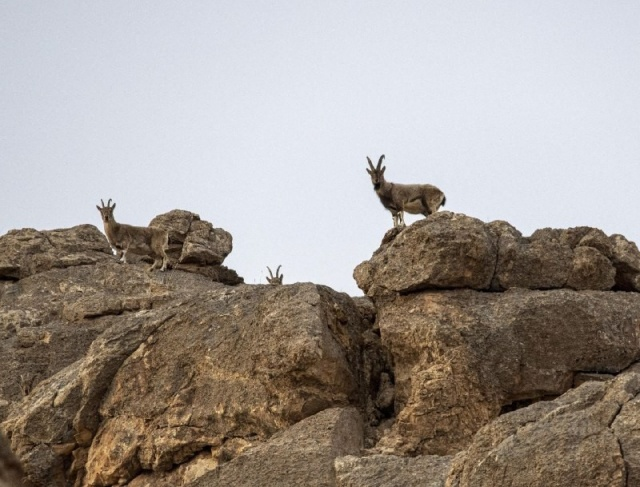 Van'da koruma altındaki dağ keçileri için yem bırakıldı
