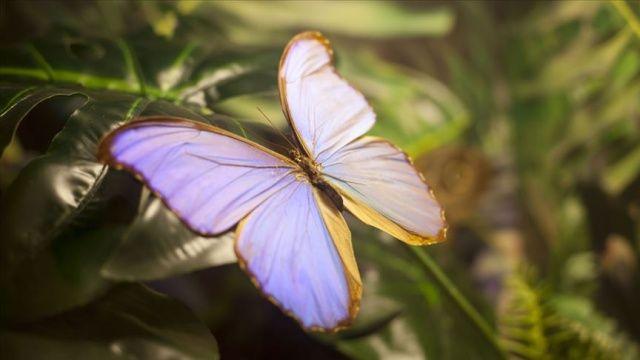 Yeni bir kelebek türü tespit edildi