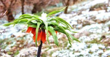 Hüzün çiçeği karlar altında kaldı