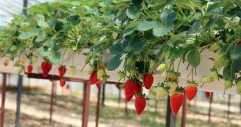 Topraksız tarım ile yılda 300 bin lira kazanıyor