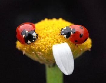 Uğur böceklerinden görsel şölen