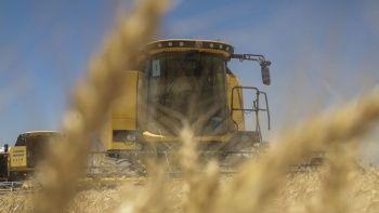 Ceylanpınar'da buğday hasadı başladı!