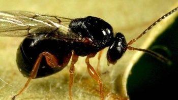 Endişelendiren durum: 'Katil' gal arısı Türkiye'de