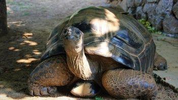 Bu kaplumbağa Cumhuriyet ile yaşıt: 'Evladımız gibi'