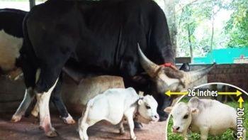 Dünyanın en küçük ineği herkesi şaşırttı