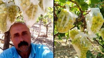 Sıcaklar bunu da yaptırdı: Dünyaca ünlü üzümleri poşetle koruyor