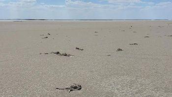 Tuz Gölü'nde kahreden manzara: Flamingo mezarlığına döndü