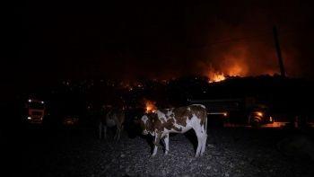 Hayvanlarını yangından korumak için denize getirdiler