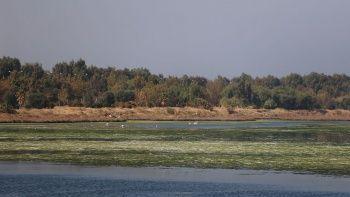 İzmir Körfezi'nde deniz marulu tehlikesi!