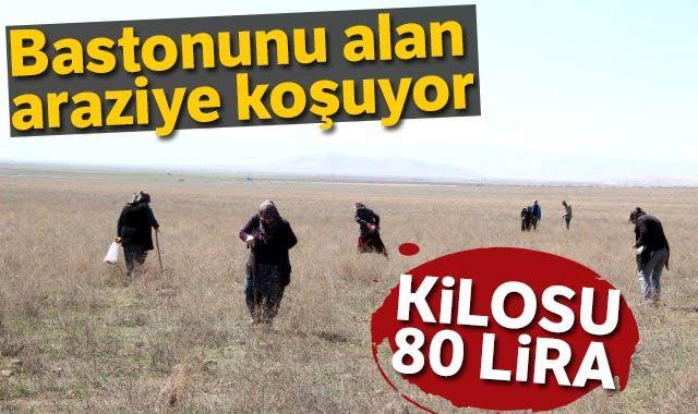 Kilosu 80 liraya satılıyor! Genci yaşlısı bastonunu alan araziye koşuyor