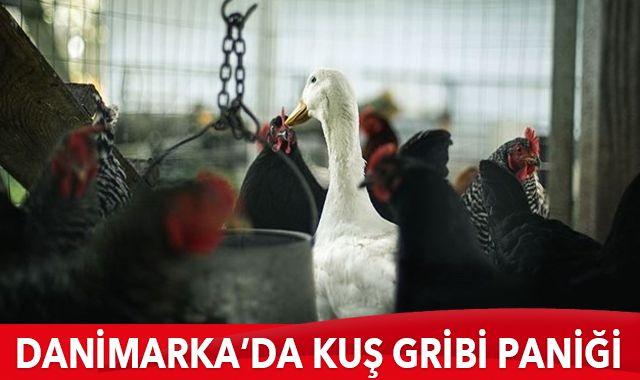 Danimarka'da kuş gribi paniği: 9 bin hayvan itlaf edilecek