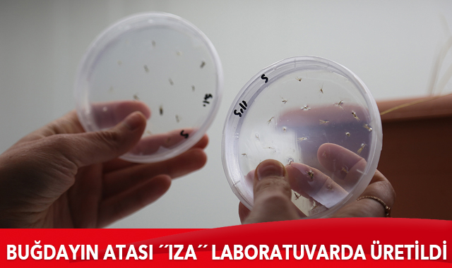 Türk bilim insanları buğdayın atası 'ıza'yı laboratuvar ortamında üretti
