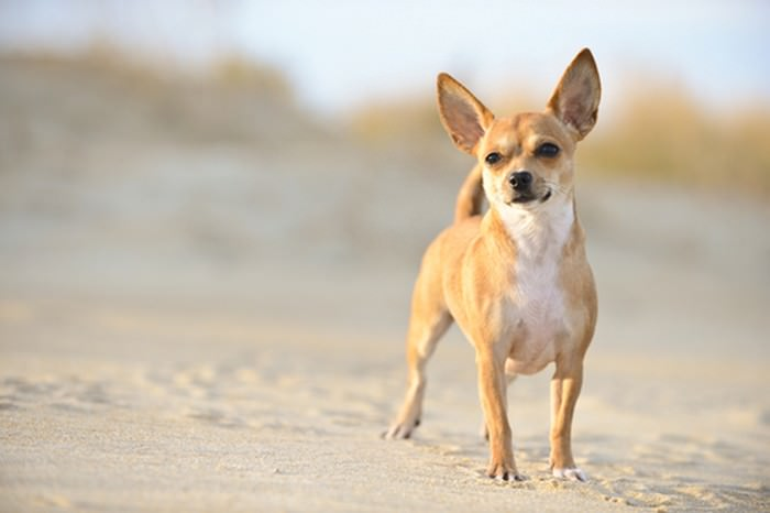 Dünyanın En Sevimli Köpek Cinsleri