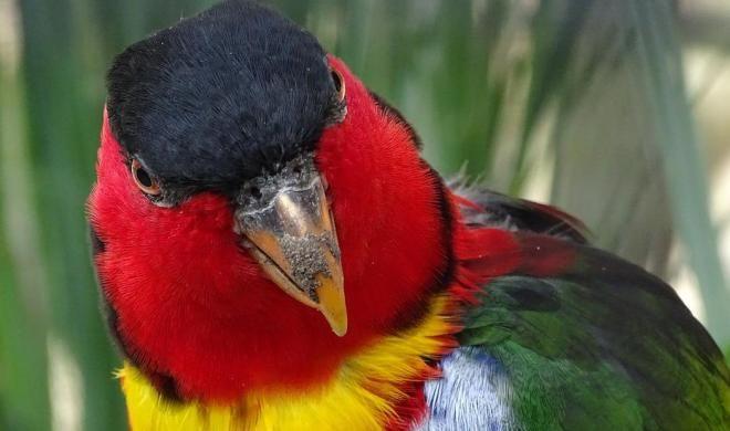 Splendid (Kırmızı Göğüslü Papağan)