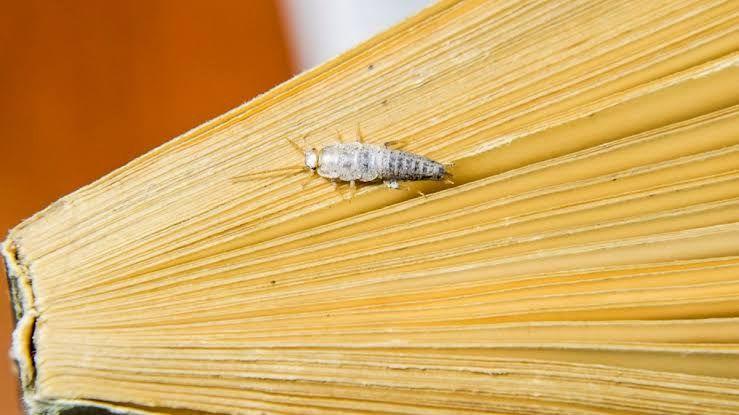Gümüş Böceği Hakkında Herşey