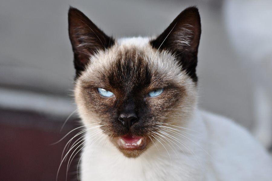 Siyam Kedileri ve Cinsi Hakkında Bilmeniz Gereken Herşey