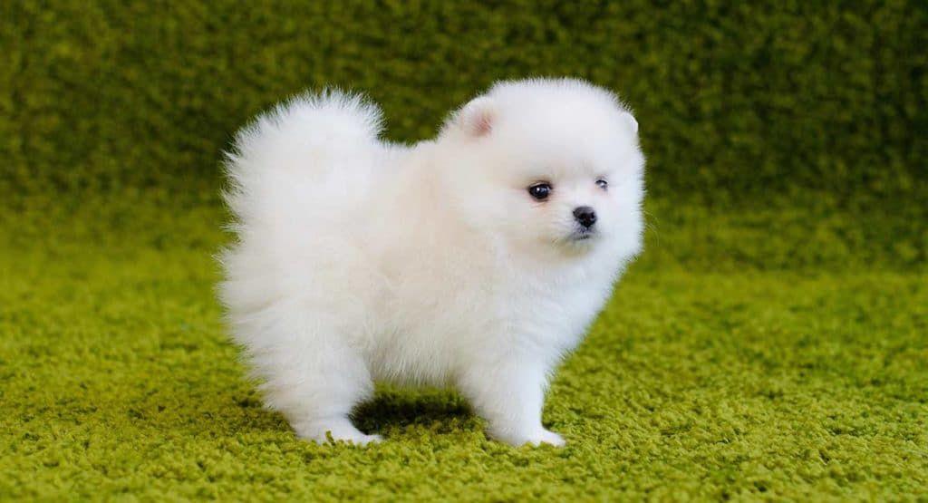 Dünyanın En Küçük Köpek Cinsleri