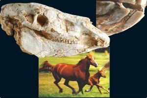 4.4 milyon yıllık at kemiği bulundu