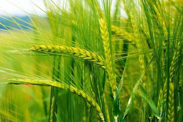 Buğdayı 1 milyon böcek koruyacak