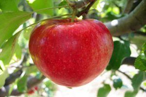 Günde 1 adet elma hayat kurtarıyor