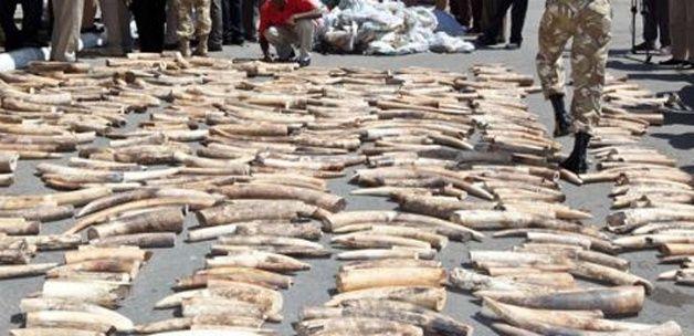 Paris'te 3 ton fildişi imha edildi