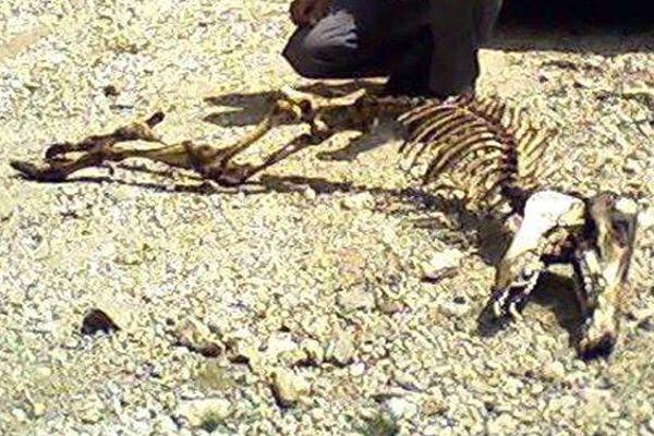 Esrarengiz hayvan iskeleti görenleri şaşırttı!