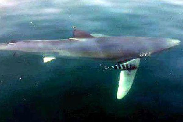 Bodrum'da köpekbalığı paniği