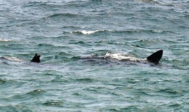 Barcelona plajlarında köpekbalığı paniği