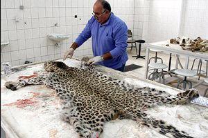 Öldürülen 'leopar' İran Parsı çıktı