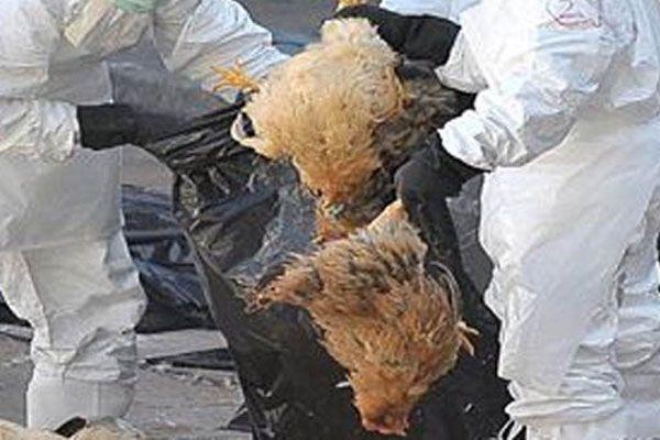 Mısır'da kuş gribinden ölüm