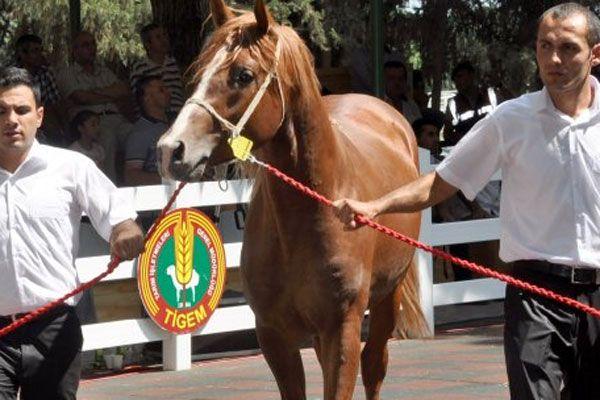 Malatya Arap atları kapış kapış gitti
