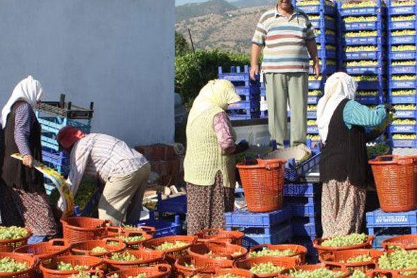 İlk sezon üzüm hasadı başladı
