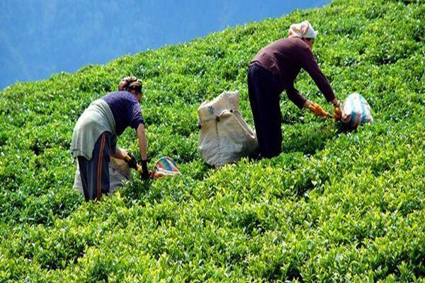 Yaş çayda 2014 fiyatı belli oldu