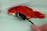 Balığını ameliyat ettirmek için 300 sterlin harcadı
